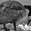 canada-geese-nesting